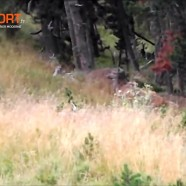 Battue sanglier : doublé Daguet/Biche – Caméra embarqué – ChasseTV