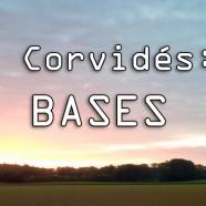 Les BASES de la chasse aux Corvidés !